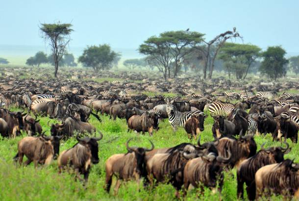 Wildebeest-Migration--Africa-Overland-Safaris--Africa-Lodge-Safaris--Africa-Tours--On-The-Go-Tours-228091391086326_crop_610_410