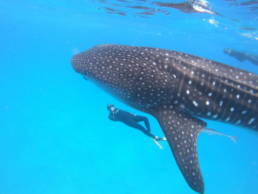 Whale Shark snorkelling