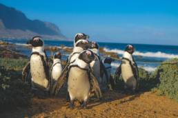 African penguin in Cape Town
